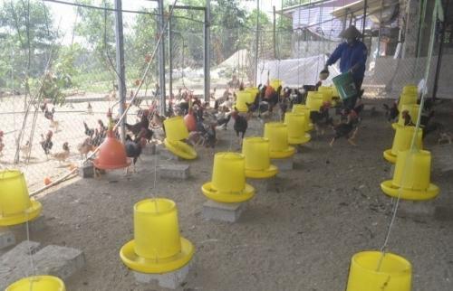 Hà Nội: Nỗ lực hạn chế thiệt hại do dịch bệnh gia súc, gia cầm gây ra