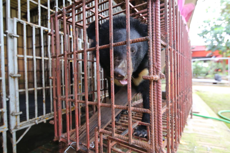 Quyết tâm đẩy lùi nạn nuôi nhốt gấu lấy mật