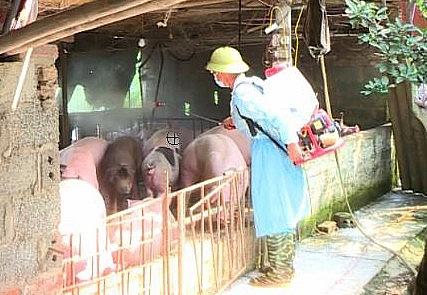 Bệnh dịch tả lợn châu Phi có nhiều diễn biến phức tạp