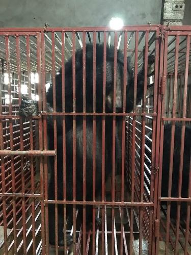Nghệ An: Chuyển giao ba cá thể gấu bị nuôi nhốt trái phép