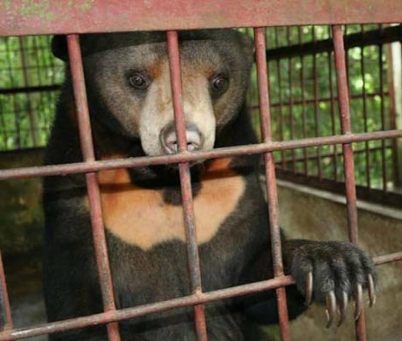 Còn 851 cá thể gấu bị nuôi nhốt