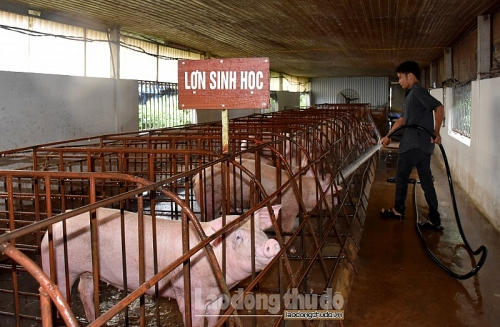Đẩy mạnh chăn nuôi lợn theo hướng an toàn sinh học