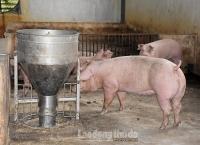 Hà Nội: Tập trung phát triển chăn nuôi an toàn sinh học