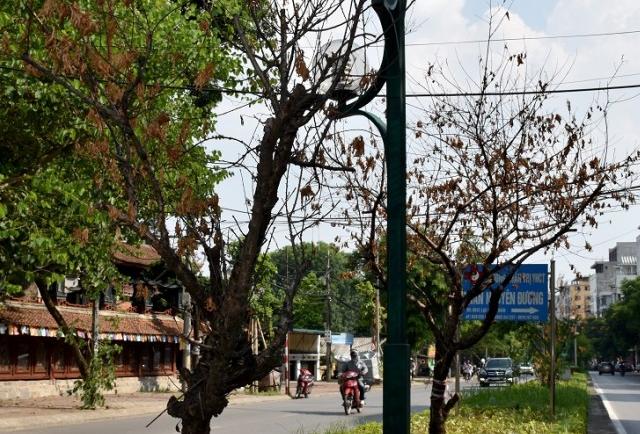 Hà Nội: Hàng loạt đào trên đường Lạc Long Quân chết khô