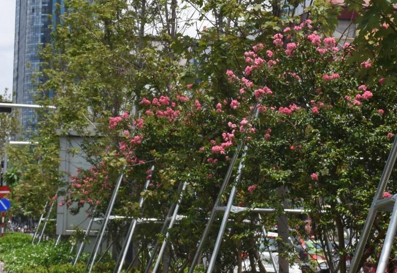 hoa tuong vi khoe sac hong ben hang phong la do