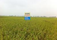 Chuyển dịch cơ cấu giống lúa theo hướng tăng năng suất chất lượng