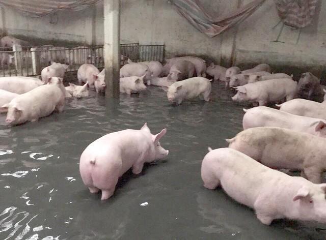 Chủ động ngăn chặn nguy cơ xâm nhiễm bệnh Dịch tả lợn Châu Phi vào Việt Nam