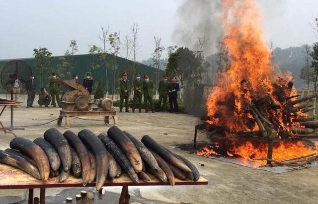Hoạt động tiêu hủy ngà voi cần trở thành một thông lệ