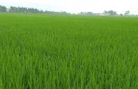 Đẩy mạnh sản xuất lúa hàng hóa chất lượng cao