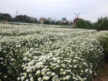 Loài hoa gọi đông về trên phố Hà Nội