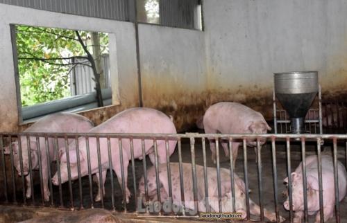 Tăng cường phòng chống dịch bệnh lở mồm long móng trên đàn gia súc
