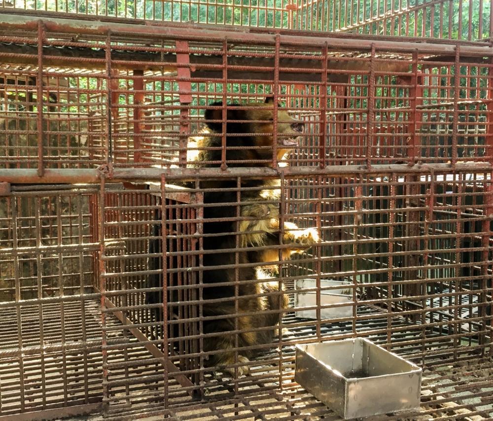 Từng bước chấm dứt hoạt động nuôi nhốt gấu lấy mật