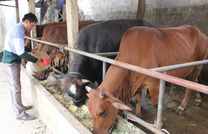 Đẩy mạnh phát triển chăn nuôi bò theo hướng vệ sinh, an toàn sinh học
