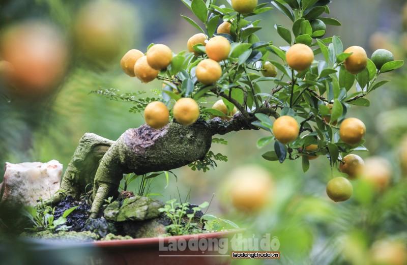 Độc đáo những cành quất trĩu quả trên gốc cây cần thăng cổ thụ