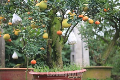 """Ngắm cây ngũ quả trong vườn """"thầy phù thủy"""" ở Thanh Oai"""