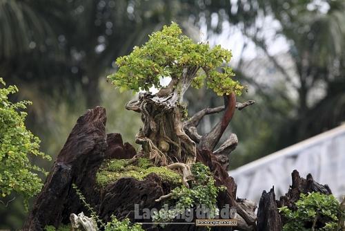 ngam rung bonsai trong tren than cay co thu gia gan ty dong o ha noi