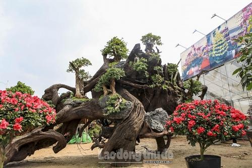 """Ngắm """"rừng"""" bonsai trồng trên thân cây cổ thụ giá gần tỷ đồng ở Hà Nội"""