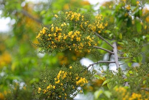 Hà Nội mùa cây giáng hương khoe sắc