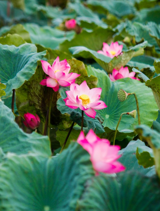 La stagione del loto ad Hanoi – I momenti da non perdere