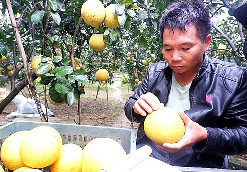 Thanh niên quyết chí làm giàu từ mô hình trồng bưởi Diễn