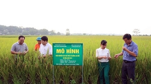 Khảo nghiệm sản xuất nhiều giống lúa mới có năng suất