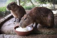 Hà Nội xuất hiện chuột khổng lồ nặng hơn 50kg nuôi dễ như nuôi lợn