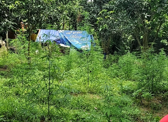 Phát hiện người nước ngoài trồng hàng trăm cây cần sa ngoài bãi giữa sông Hồng