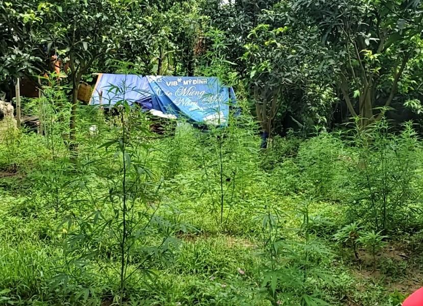 Phát hiện người nước ngoài trồng cây cần sa ngoài bãi giữa sông Hồng