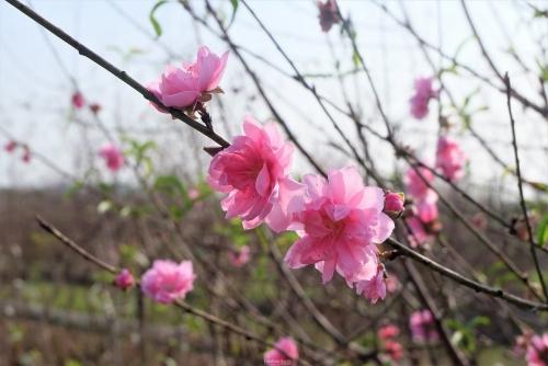 Nắng nhiều ngày, đào Nhật Tân nở sớm đón Tết Dương lịch