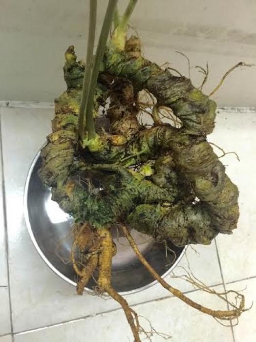 Củ tam thất cổ 20 triệu/kg hiếm có ở Hà Nội