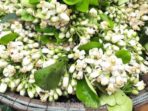Nồng nàn những gánh hoa bưởi đầu mùa trên phố