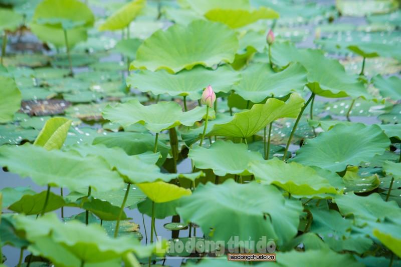 http://laodongthudo.vn/stores/news_dataimages/nguyenhoa/052020/20/21/net-dep-ho-tay-mua-sen-no_1.jpg