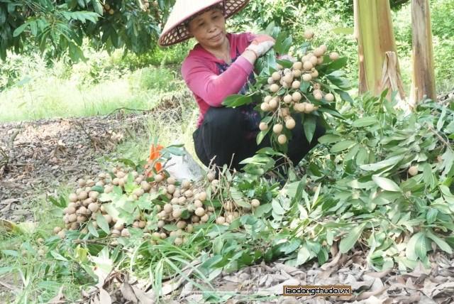 Huyện Hoài Đức: Hiệu quả kinh tế từ trồng nhãn chín muộn