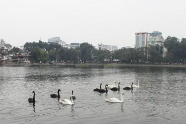 Người dân hào hứng ngắm đàn thiên nga ở hồ Thiền Quang