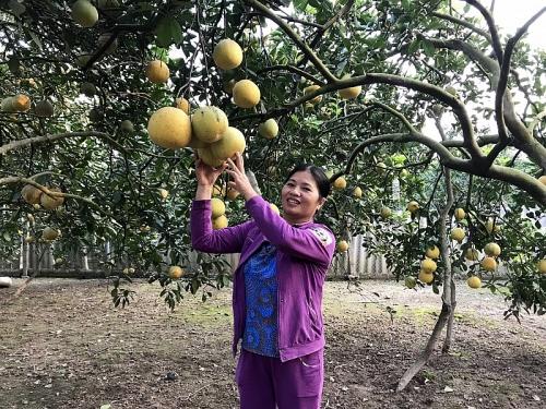 Làm giàu nhờ trồng bưởi Diễn