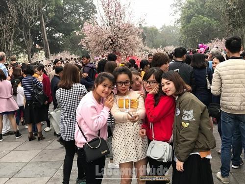 Chăm sóc hoa anh đào trong thời tiết khắc nghiệt của Hà Nội