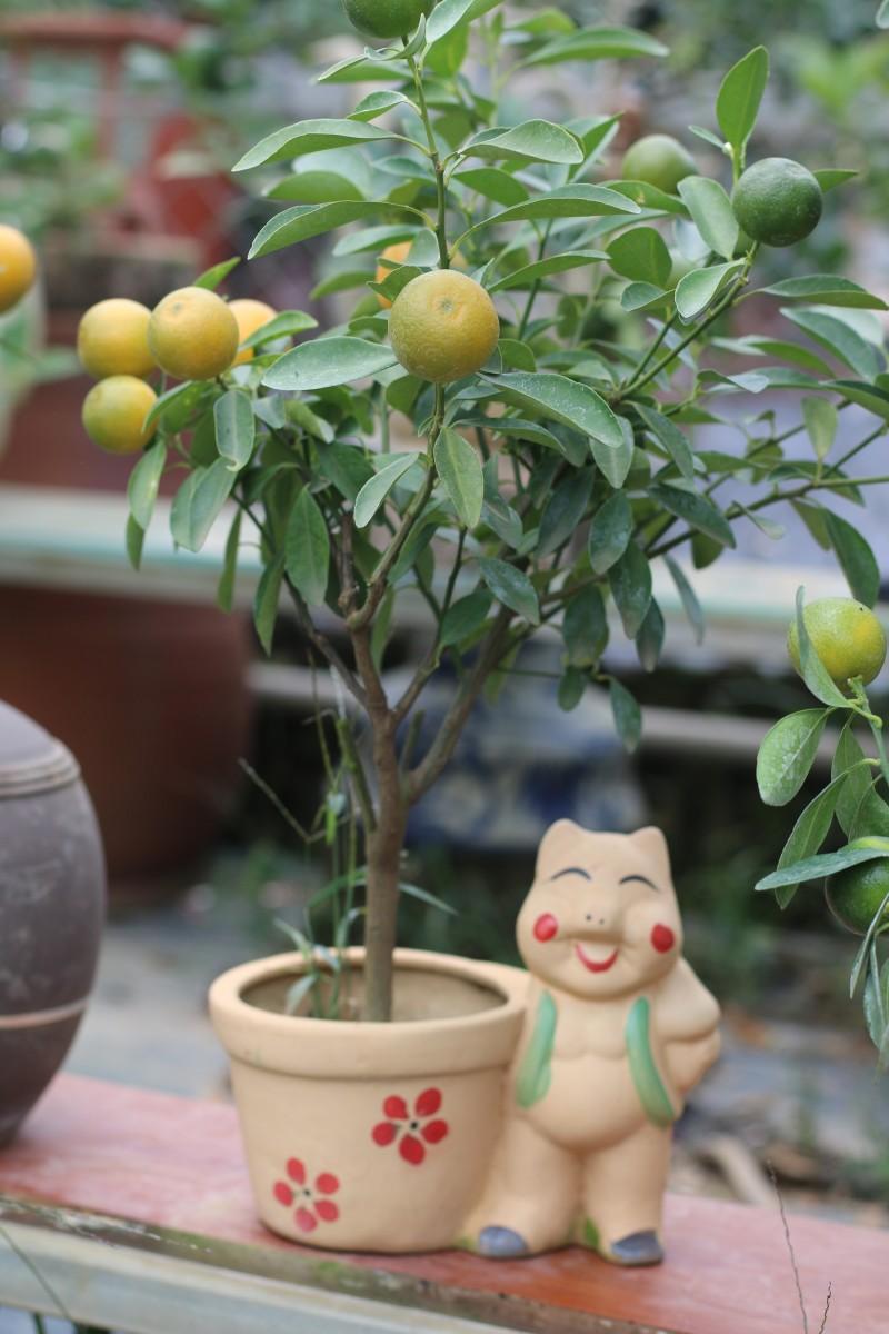doc dao quat bonsai cuoi heo don tet ky hoi