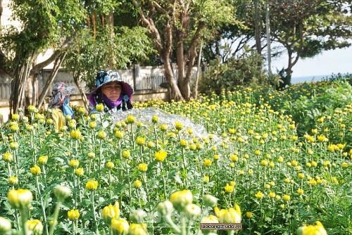 Cúc vàng tô thắm sắc xuân trên huyện đảo Lý Sơn