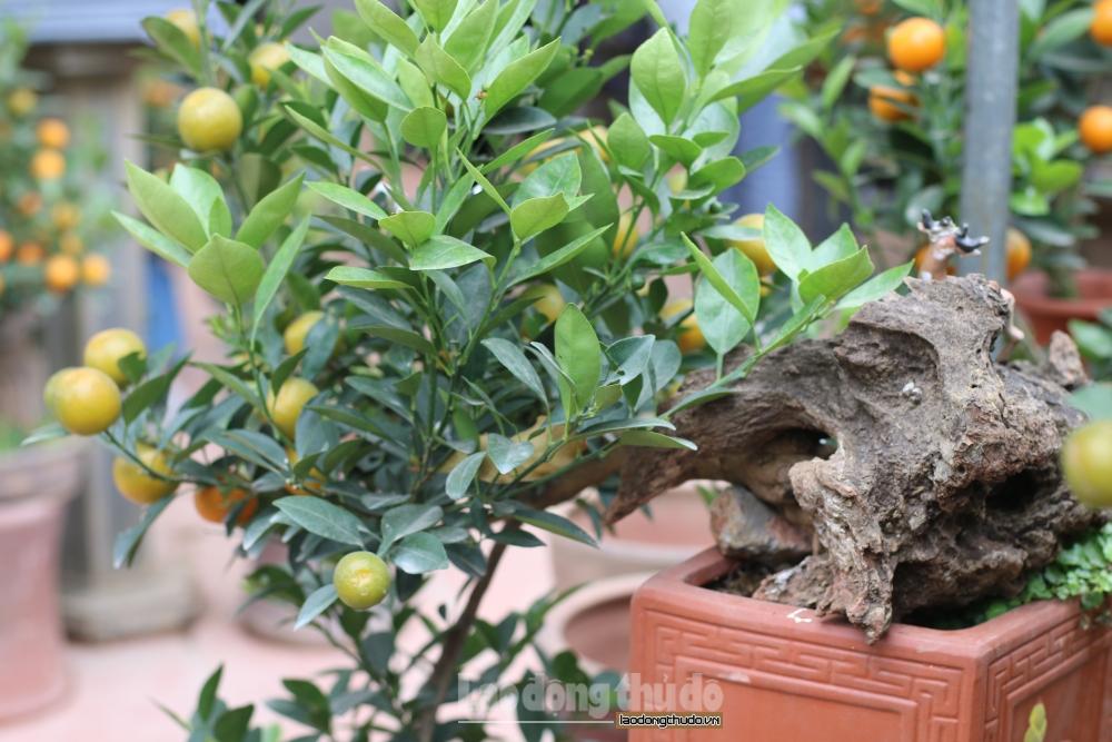 Quất cảnh bonsai, hình dáng độc lạ có giá hàng chục triệu đắt khách dịp cận Tết