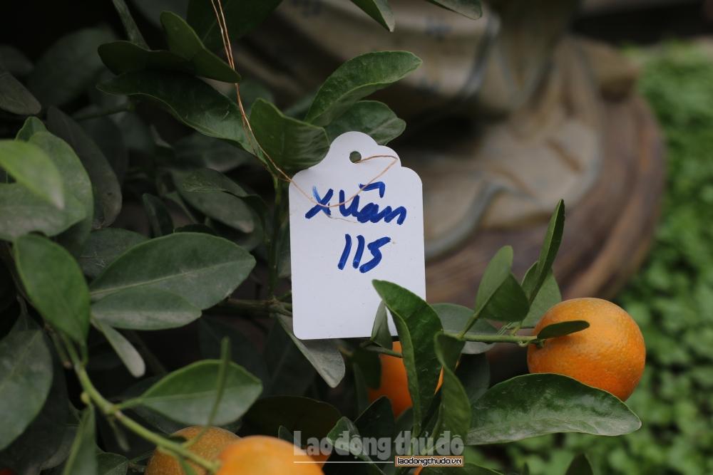 Quất cảnh bonsai, hình dáng độc lạ đắt khách dịp cận Tết