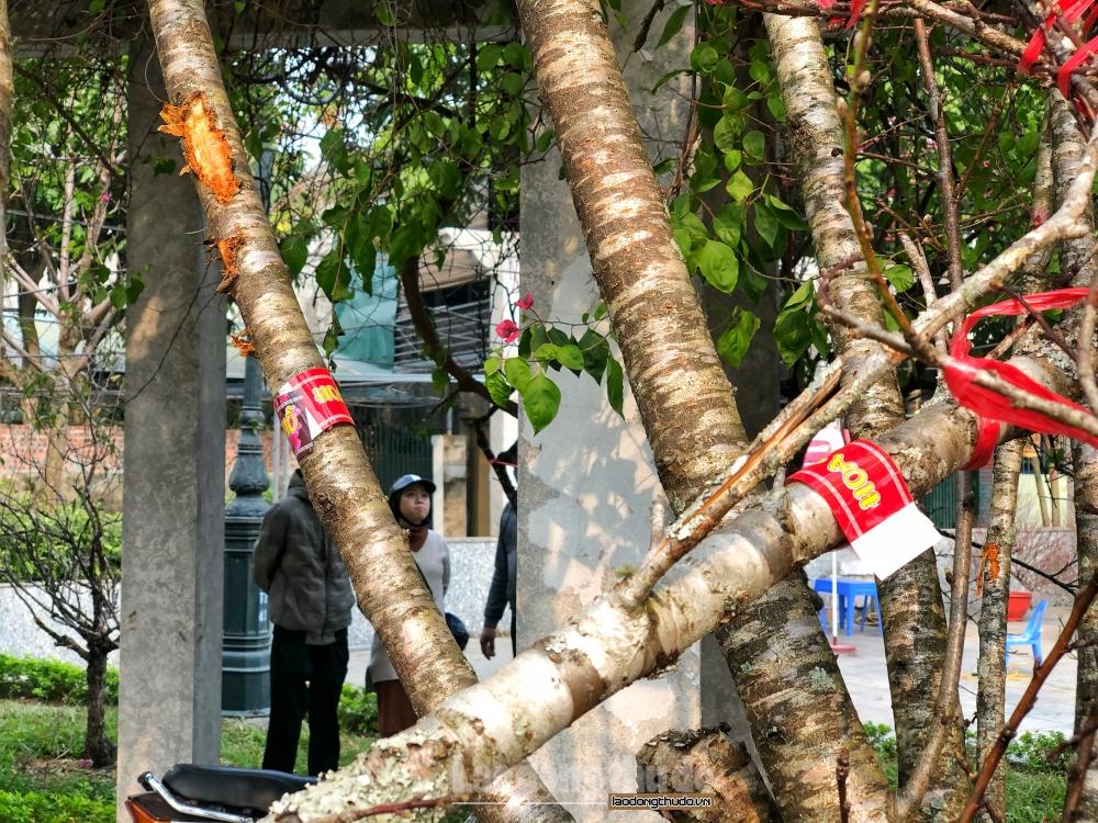 Cận cảnh đào rừng Sơn La dán tem nguồn gốc xuất xứ