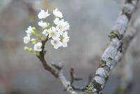 Đẹp tinh khôi sắc trắng hoa lê rừng giữa phố phường Hà Nội