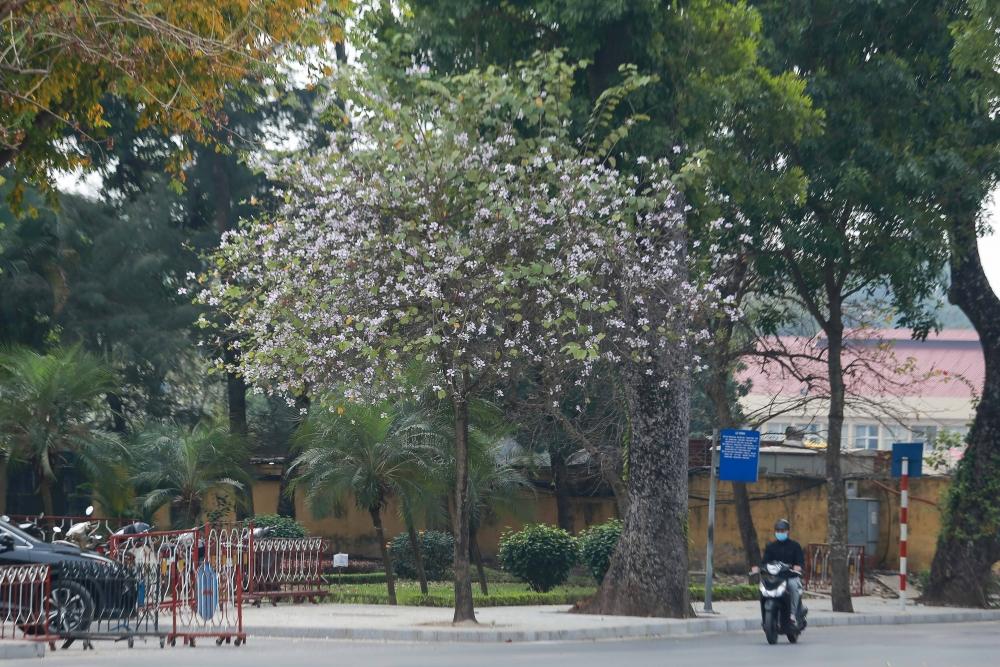 Hoa ban nở rực rỡ khắp phố phường Hà Nội