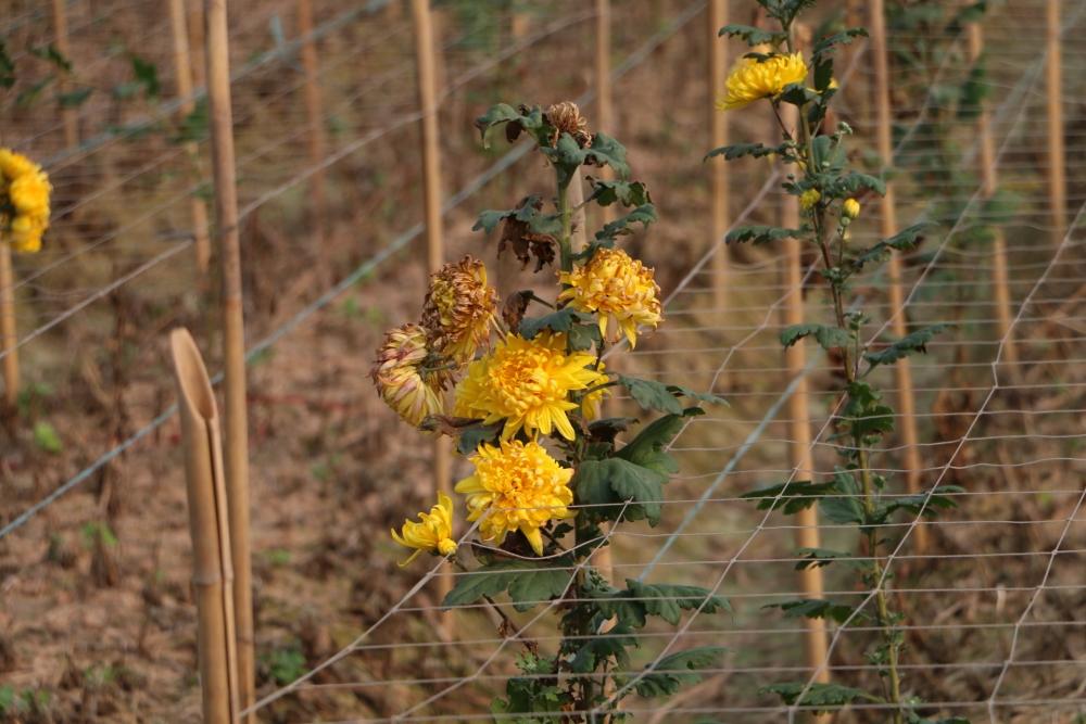 Hoa héo đầy ruộng, rớt giá thê thảm do ảnh hưởng của dịch Covid-19