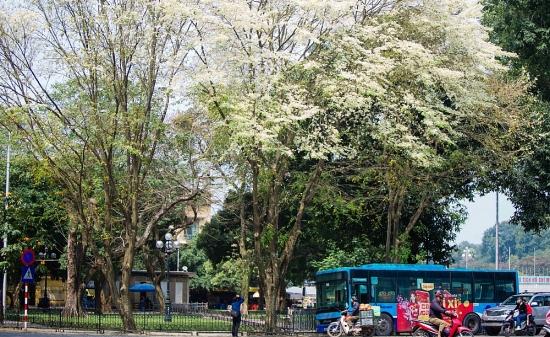 Phố phường Hà Nội tươi mới bởi sắc trắng hoa sưa