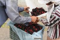Hiệp Thuận trẩy dâu mùa dịch, người nông dân bán hàng online