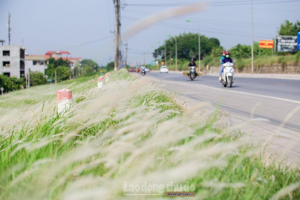 Những cánh đồng cỏ lau đẹp thơ mộng giữa lòng Hà Nội