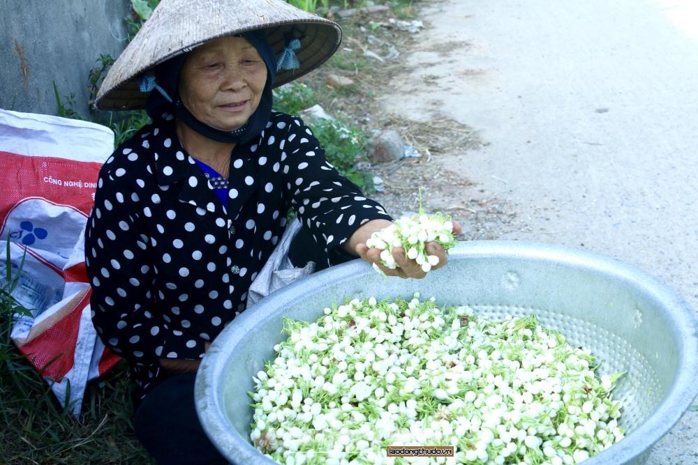 Người dân Sóc Sơn tất bật thu hoạch hoa nhài cuối vụ