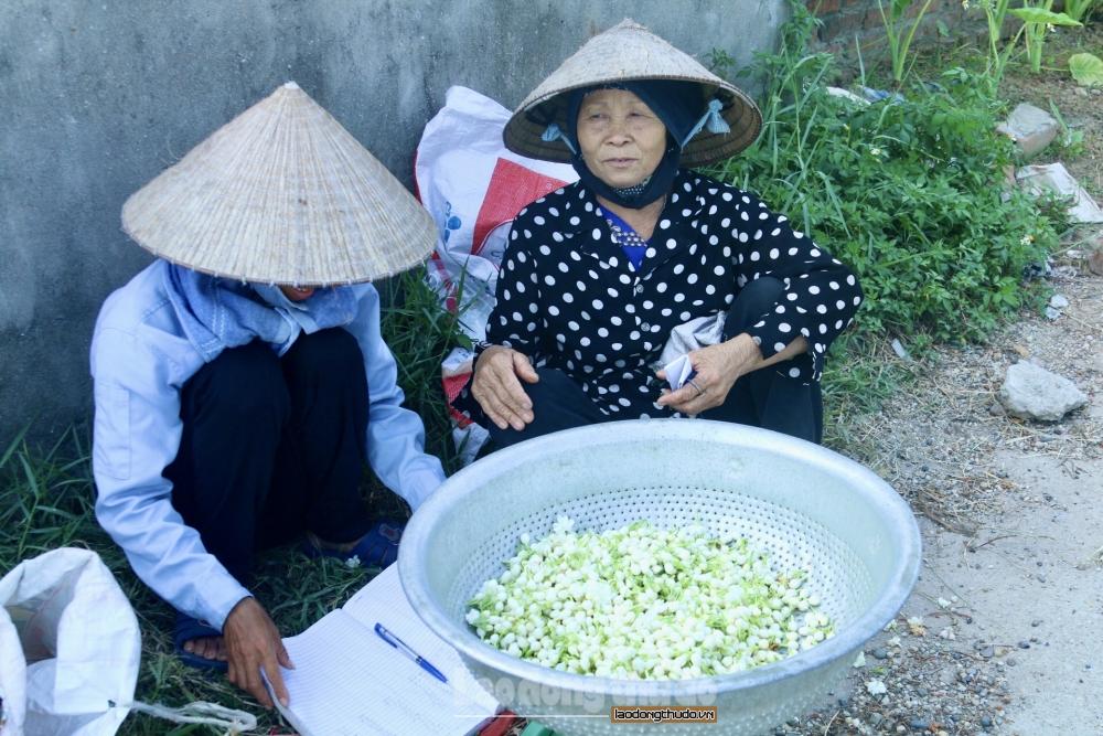Cải thiện kinh tế nhờ trồng hoa nhài