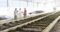 Phát triển chăn nuôi sạch nhờ giun quế